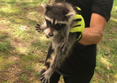 Wild Raccoon saved from home owners chimney